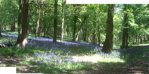 Painting Bluebell Woods Reference